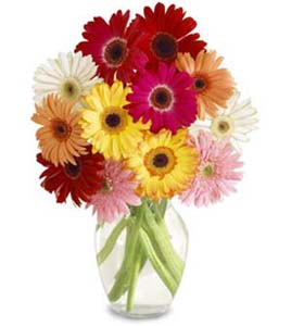 multicolored-gerberas